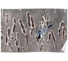The Acrobat - Black-capped Chickadee (Poecile atricapillus) Poster