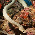 Olive Seasnake, Papua New Guinea by Erik Schlogl