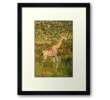 reticulated giraffe - pilanesburg, south africa Framed Print