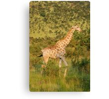 reticulated giraffe - pilanesburg, south africa Canvas Print
