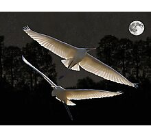 Majestic Great Egrets  Photographic Print
