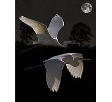 Two Great Egrets In Flight Photographic Print