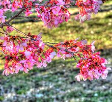 Taiwan Cherry Blossoms by bannercgtl10