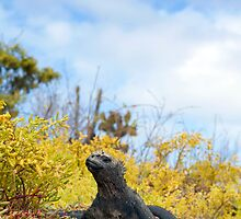 Marine Iguana, Dragon Hill, Galapagos by parischris