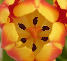 Tulip closeup by daliant