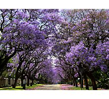 Jacarandas in bloom Photographic Print