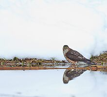 Sharp-shinned Hawk Ice Bath by Tom Talbott