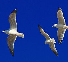 Flying Gulls by henuly1