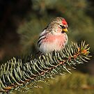 Common Redpoll on Spruce by Bill McMullen