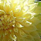 Zoom on Beauty - Yellow Dahlia by Jane Neill-Hancock