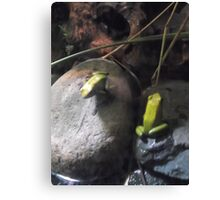 London Zoo/Reptile House/Poisonous Frogs(2 of 2) -(190212)- digital photo Canvas Print