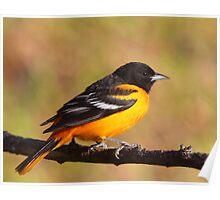 A Burst Of Orange / Baltimore Oriole Poster
