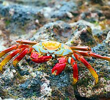 Sally Lightfoot Crab, Galapagos by parischris