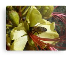 Bird of Paradise flower entices Native Bee. Metal Print