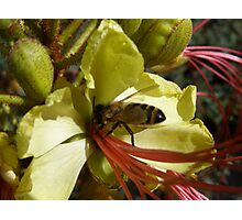 Bird of Paradise flower entices Native Bee. Photographic Print