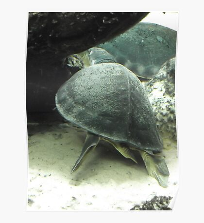 London Zoo/Reptile House/Turtle(1 of 2) -(190212)- digital photo Poster
