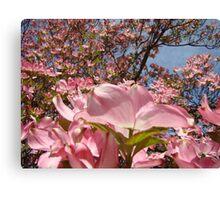 Beautiful Spring Fine Art Photography Pink Dogwood Flowers Canvas Print