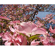 Beautiful Spring Fine Art Photography Pink Dogwood Flowers Photographic Print