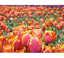 Tulip Festival Fine Art Prints Pink Orange Tulips Floral Photographic Print