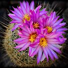Pink Cactus Flowers  by Saija  Lehtonen