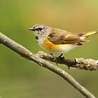 American Redstart by Bill McMullen