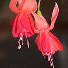 Fuchsia by Geoffrey Higges