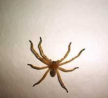 Huntsman Spider by Robert Phillips
