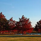 Row of Cypress in the Autumn Afternoon Sun by Lisa Holmgreen
