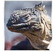 Hybrid Iguana, South Plaza, Galapagos Poster