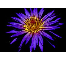 Water Lily - Nymphaea 'Blue Aster' Photographic Print