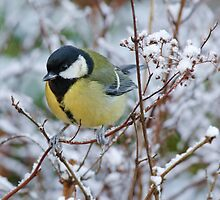 Great tit on frosty morning, County Kilkenny, Ireland by Andrew Jones
