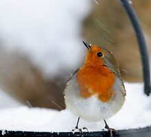 I didn't see that in the forecast! Robin in a snowstorm, County Kilkenny, Ireland by Andrew Jones