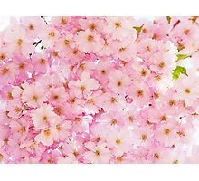 Lovely pink cherry bloom. Photographic Print