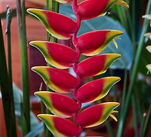 Costa Rica. Exotic Flower -  Heliconia pendula. by vadim19