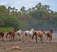 Costa Rica. Town of Cahuita. Horses on the Beach. by vadim19