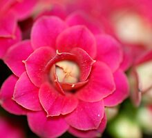 Flaming Katy - Kalanchoe II by vbk70
