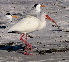 White Ibis Foraging by Frank Bibbins