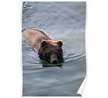 Swimming Bear Poster