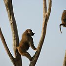Baboons by Vac1