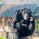 Chimpanzee by Vac1