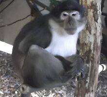 London Zoo/Monkey (1 of 3) -(190212)- digital photo by paulramnora
