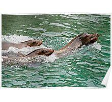 Harbor seals Poster