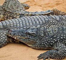 Crocodiles by Vac1