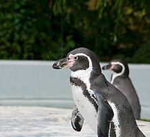 Magellanic Penguin by Vac1