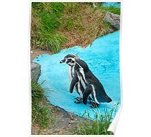 Magellanic Penguins Poster