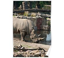 Rhinoceros drinking water Poster