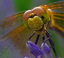 Face of a Dragon Fly by Christian  Bennion