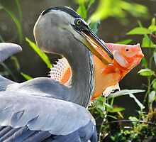 Great Blue Heron & The Carp by Kathy Baccari