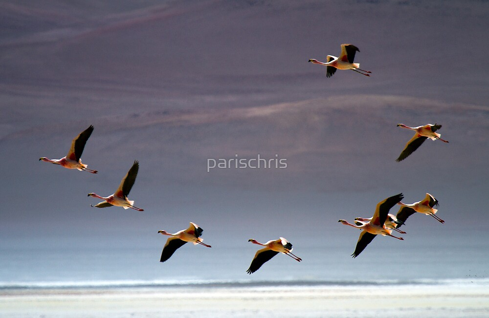 Flamingos, Atacama Desert, Chile by parischris