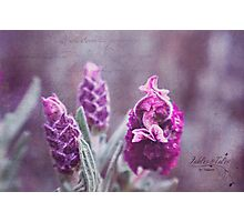 Lavenders First Blooms Photographic Print